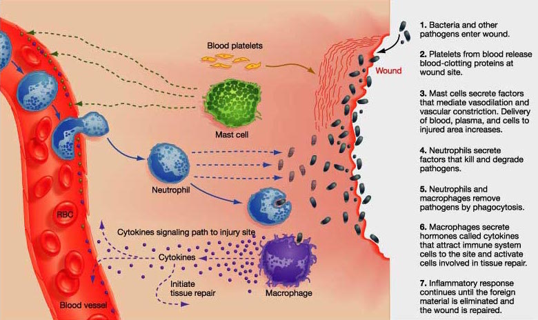 the characteristics of herpes an acute inflammatory virus disease Herpes sim´plex an acute viral disease caused by a characteristics include inflammation of spinal ganglia and herpes zoster see herpes viruses and.